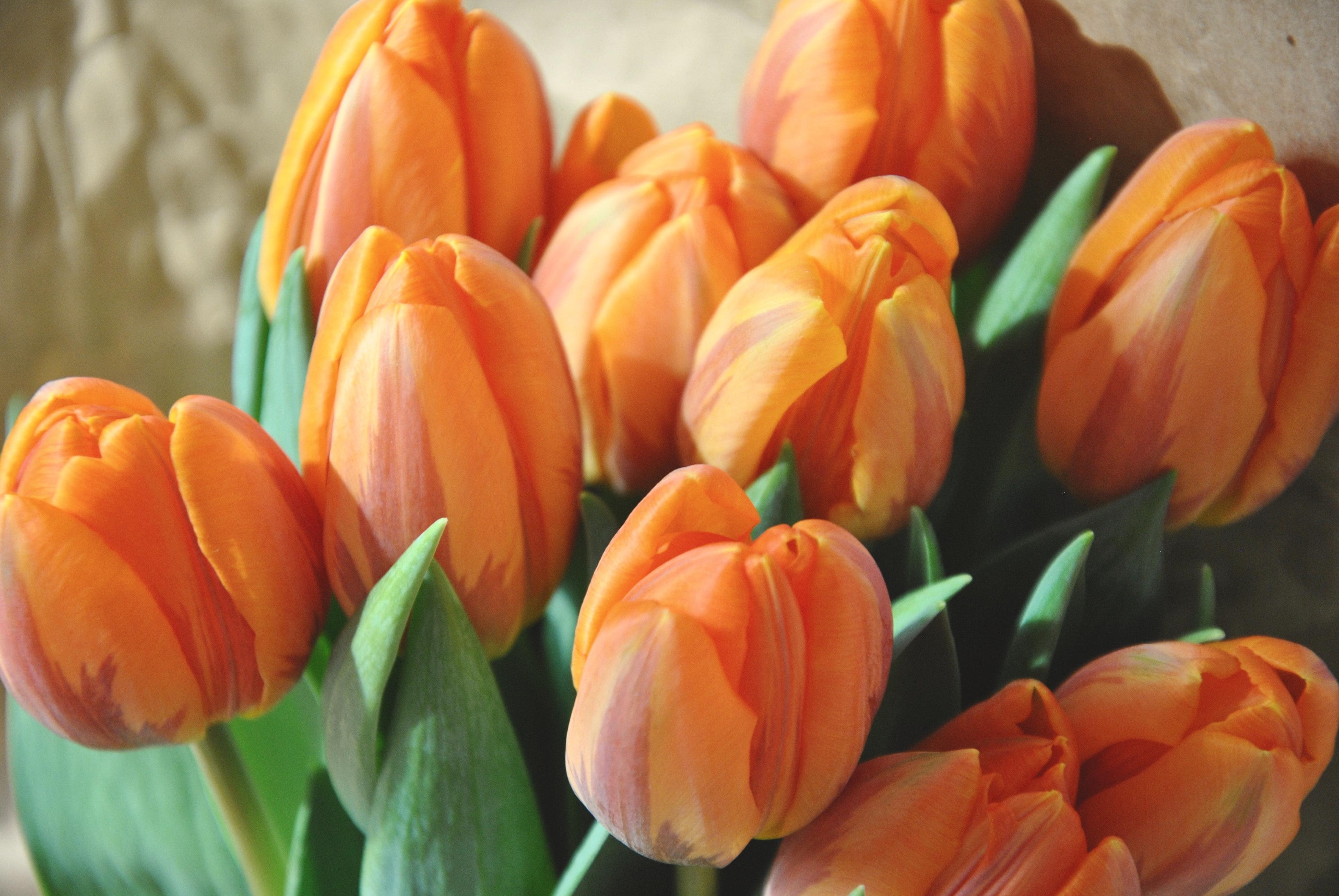 orange-tulpen
